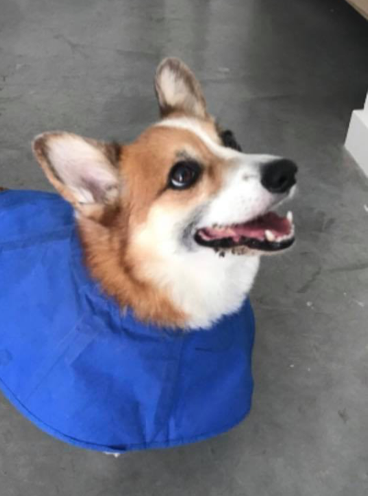 Oliver the corgi wearing a cape.