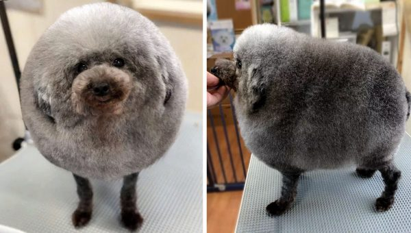 Tiny Poodle Is Gaining Internet Fame for His Perfectly Round Haircut