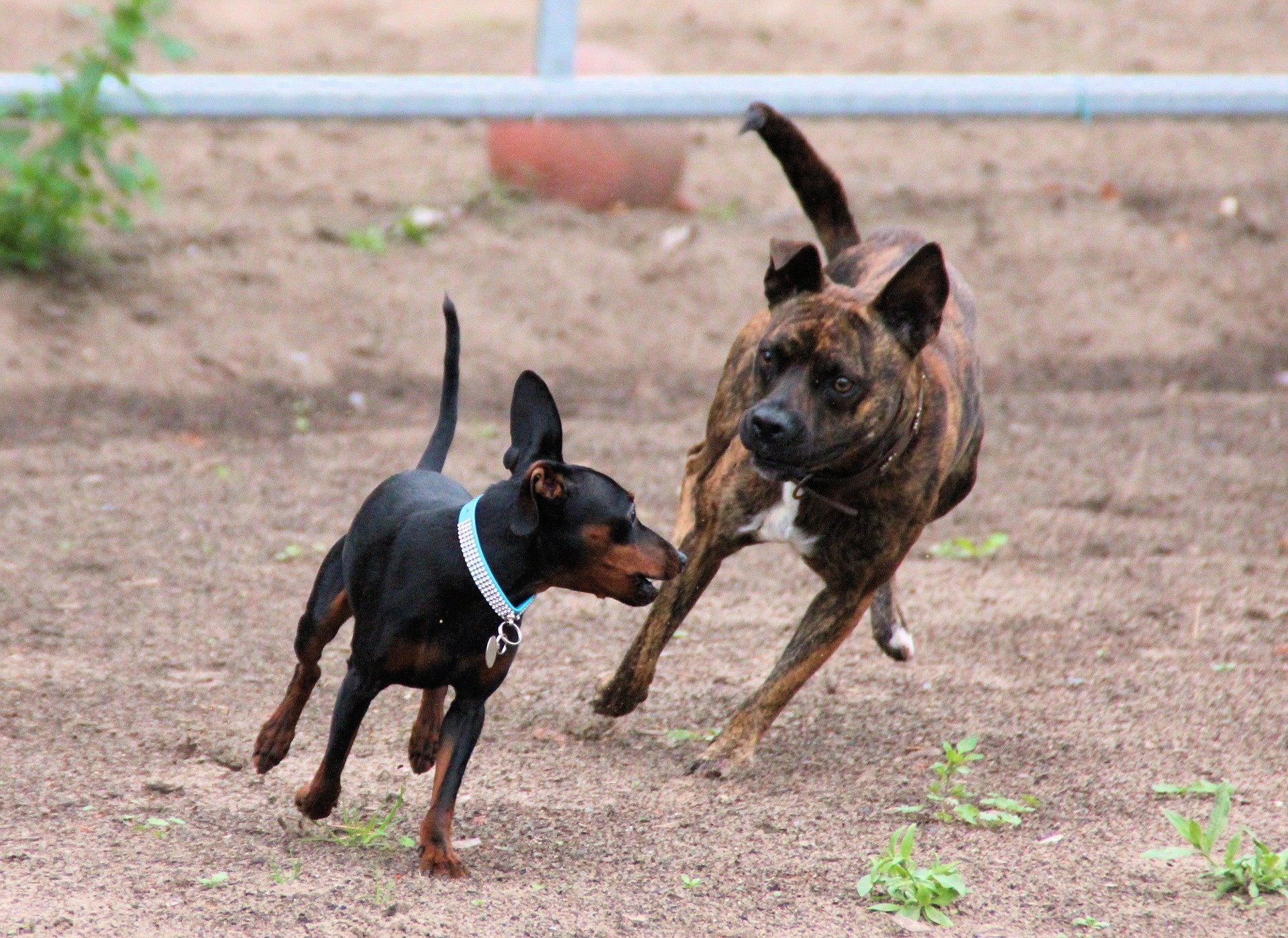 9 Things Only Miniature Pinscher People Understand The Dog People
