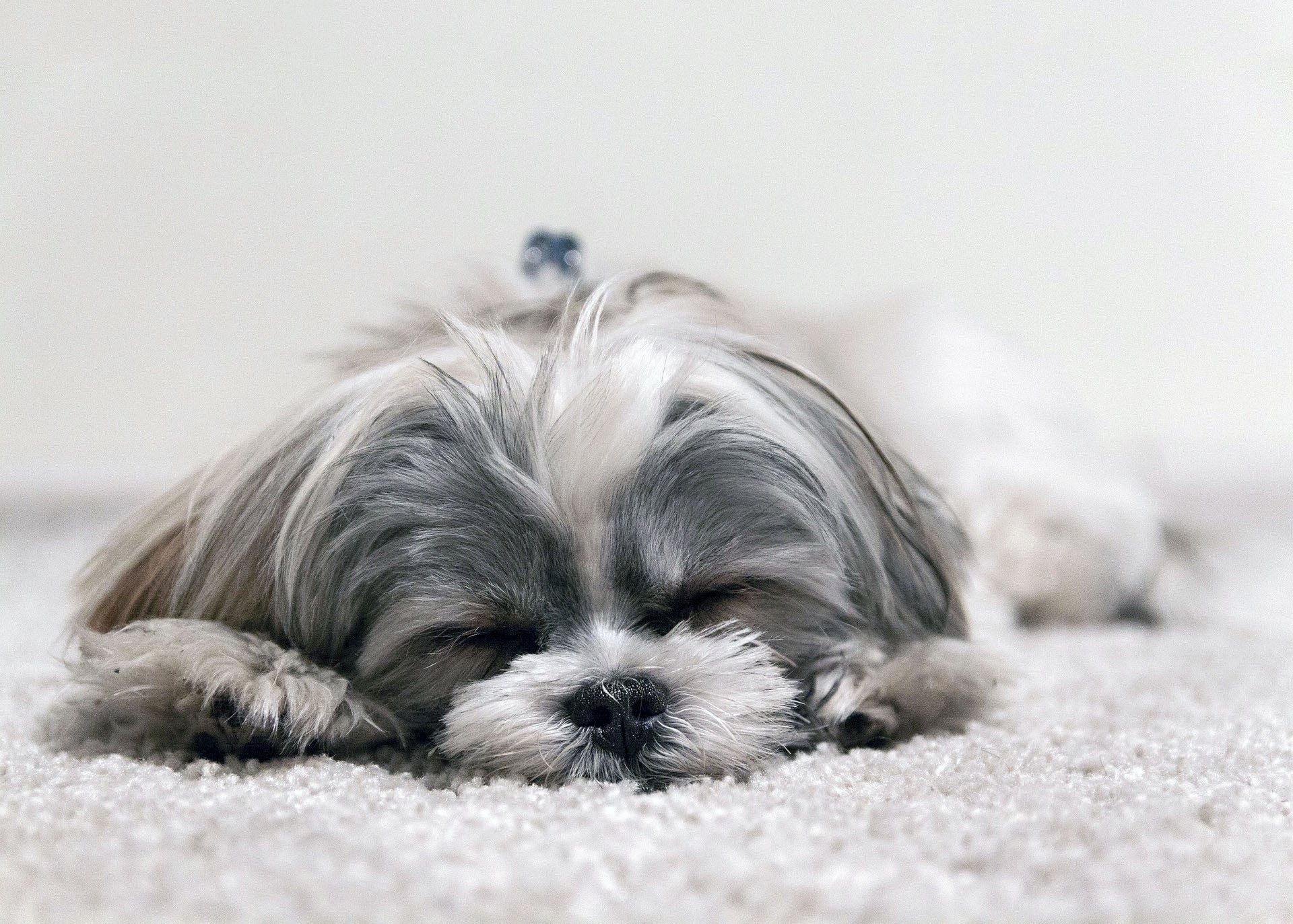 best shih tzu beds