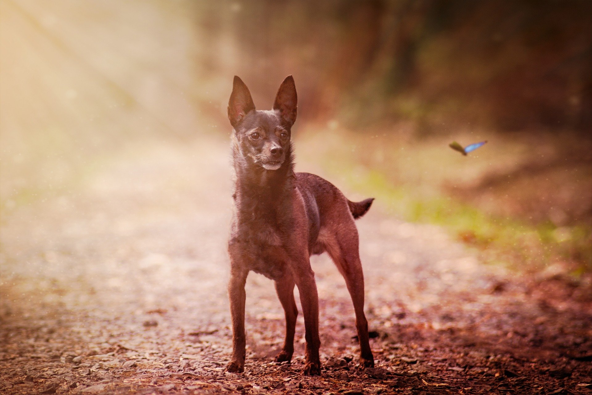 9 Things Only Miniature Pinscher People Understand The Dog People By Rover Com