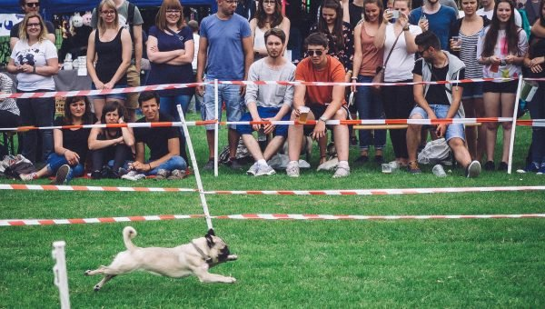 "Watch the ""Usain Bolt of Pugs"" Win Third Straight Title and All of Our Hearts"