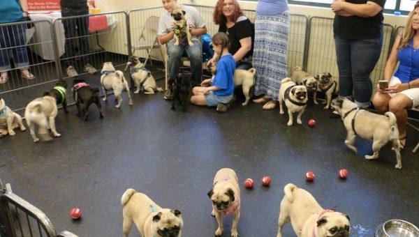 250 Pugs Make Boy's Birthday Wish Come True