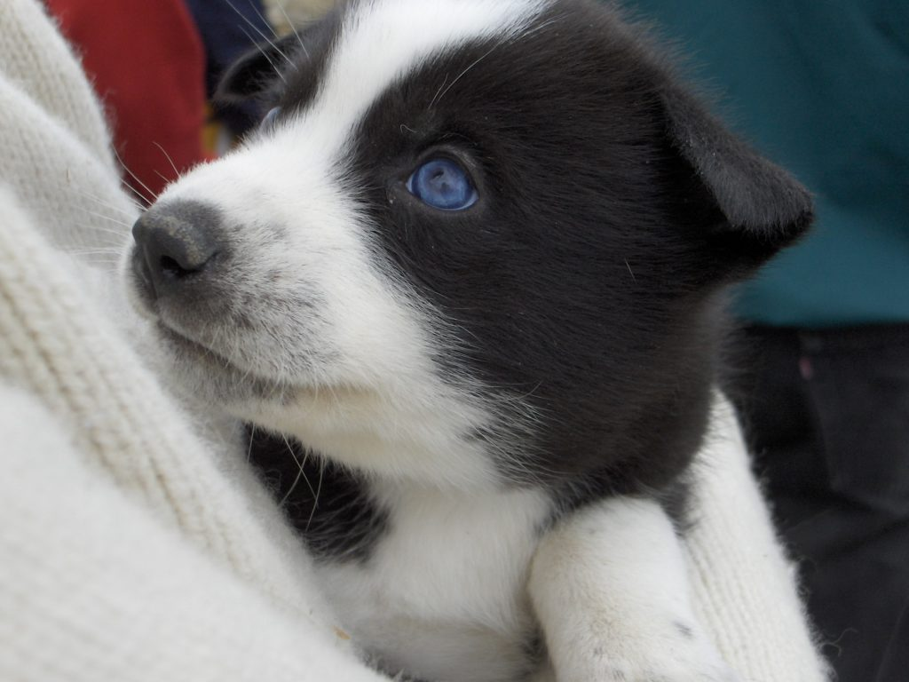 9 Dogs With Blue Eyes That Are Just Stunning