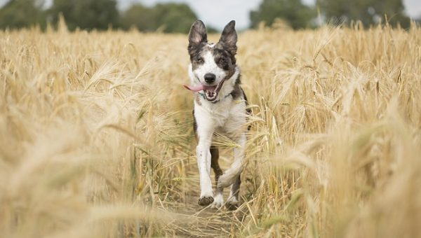 Joyful Dog Running - Pixabay