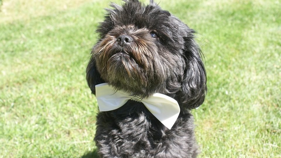 A small dog sits on grass in a fancy bowtie.