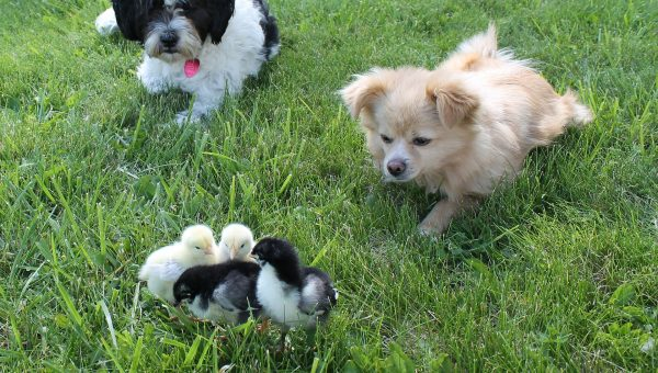 How to Introduce Your Dog to Pet Chickens (Yes, They Can Get Along)