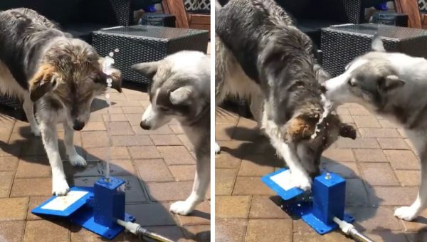 These Half-Husky Bros Go Wild for Water in Adorable Video Series