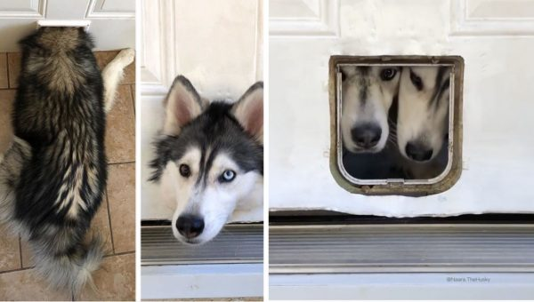 Viral Husky Siblings Are Obsessed with the Cat Door