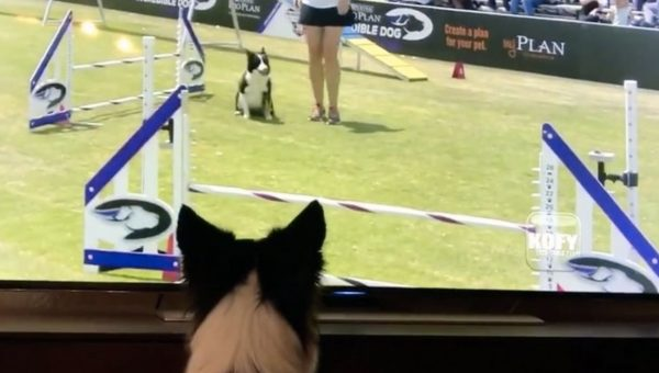 This Border Collie Gets SO Excited Watching Herself on TV [Video]
