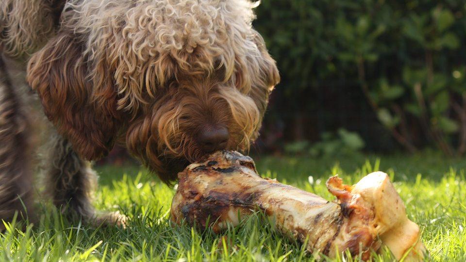 A dog sniffs a large bone.