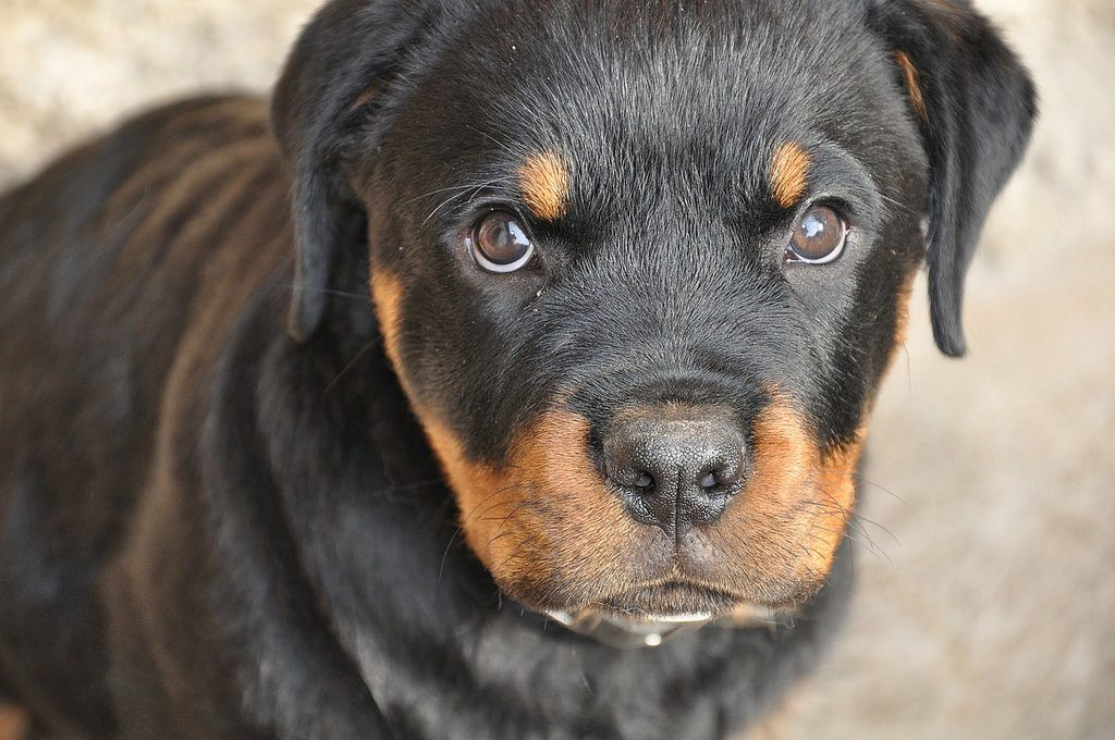 11 Facts Rottweiler People Understand Better Than Anyone The Dog