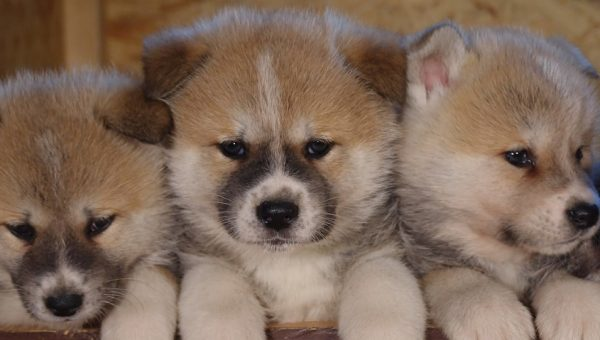 Bear Cub or Puppy?: 10 Things Akita People Know by Heart
