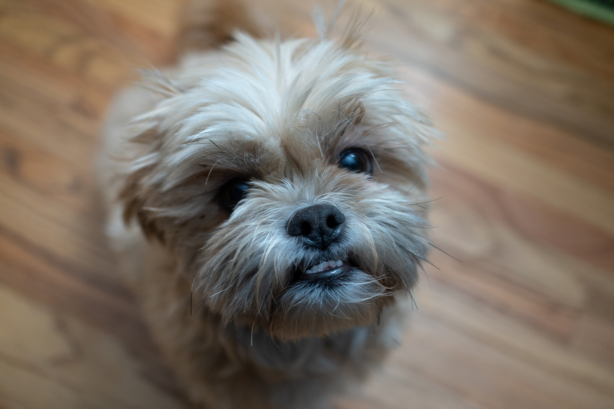 My Dog is Wheezing   Dog Asthma Symptoms and Treatment
