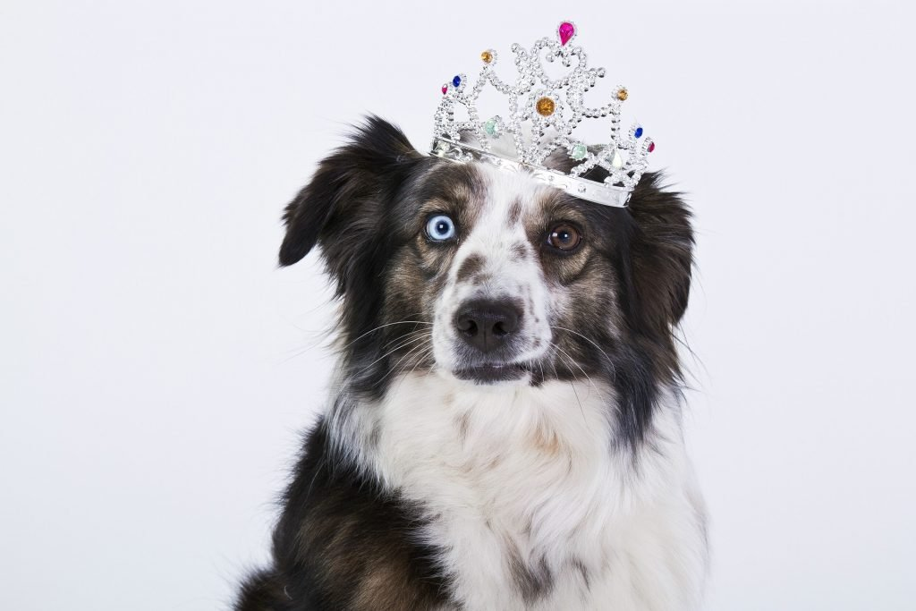 dog wearing a crown regal australian shepherd