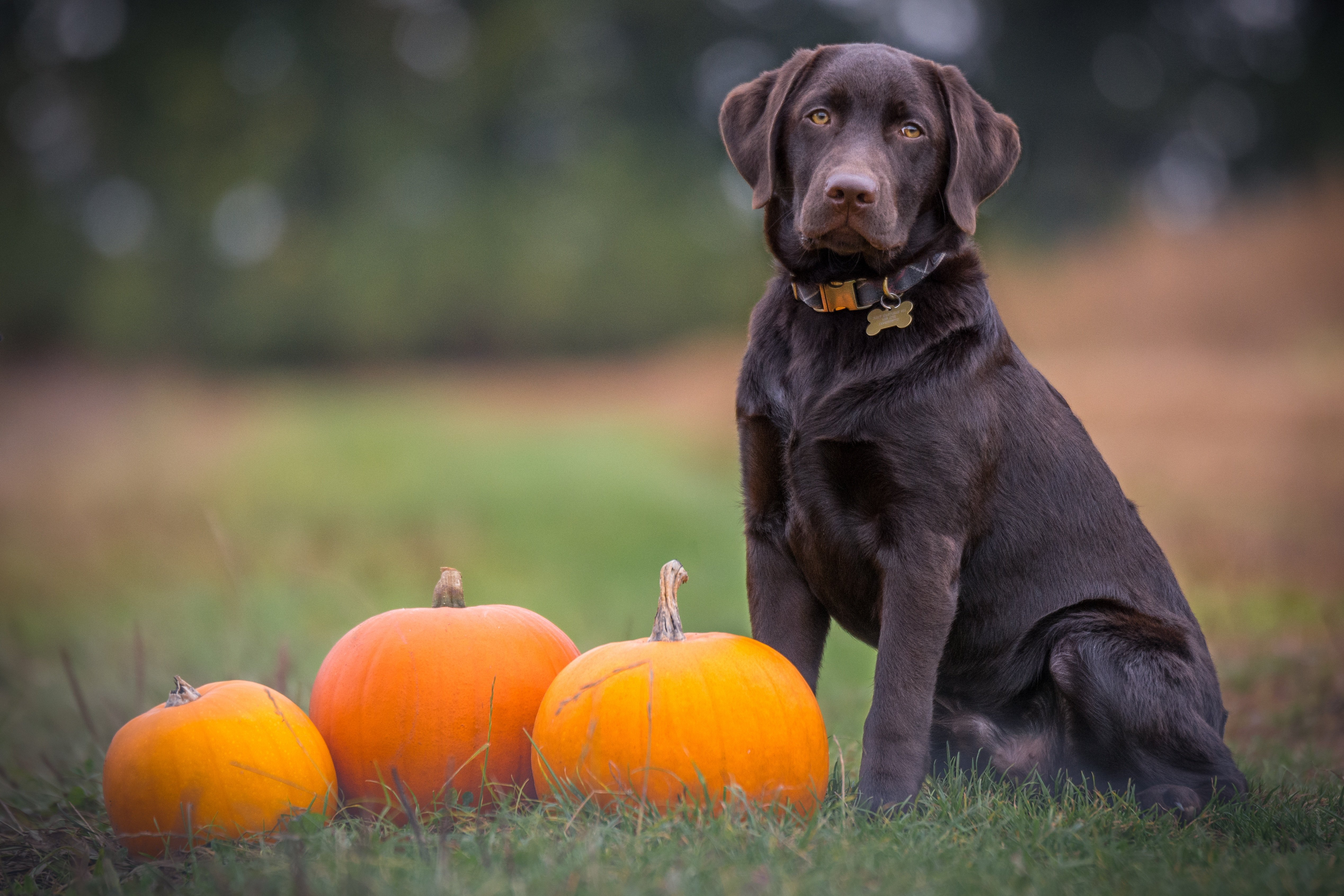 A chocolate lab sits with pumpkins, waiting for their Halloween dog name.