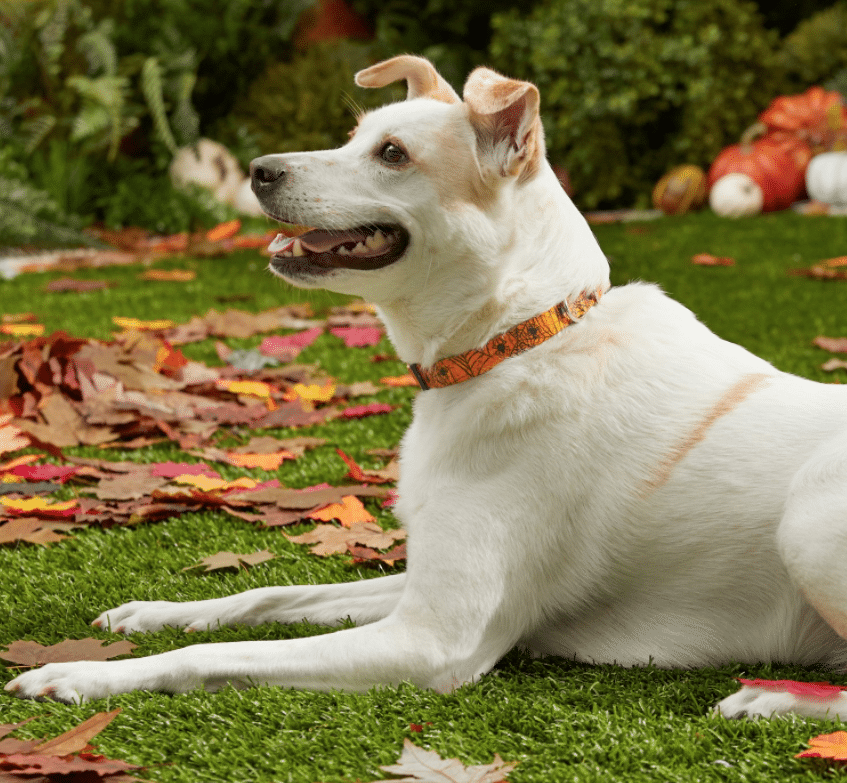 dog wearing Frisco orange cobwebs print collar