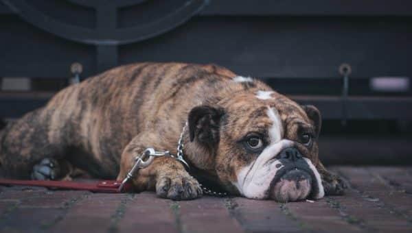 10 Honden Die Hun Jaloezie Niet Kunnen Verbergen