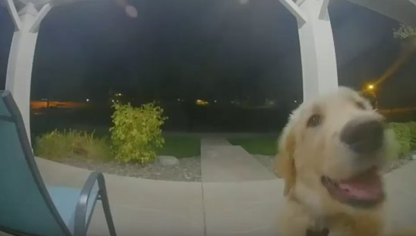 Knock Knock! Golden Retriever Puppy Who Snuck out of the House Wants Back In