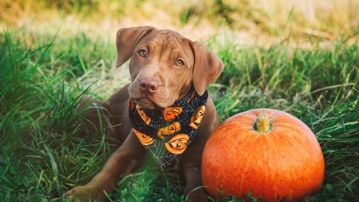 puppy in grass wearing pumpkin print bandana next to orange pumpkin