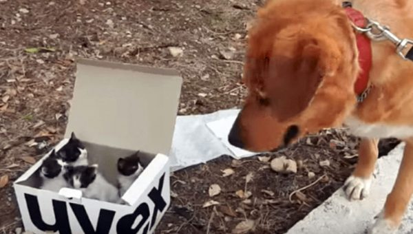 Dog Finds Abandoned Kittens And Becomes Adorable Foster Dad [Video]