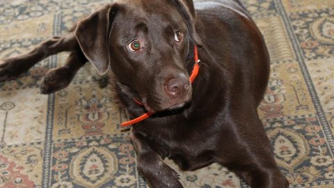 A chocolate lab looks up fearfully from the carpet.