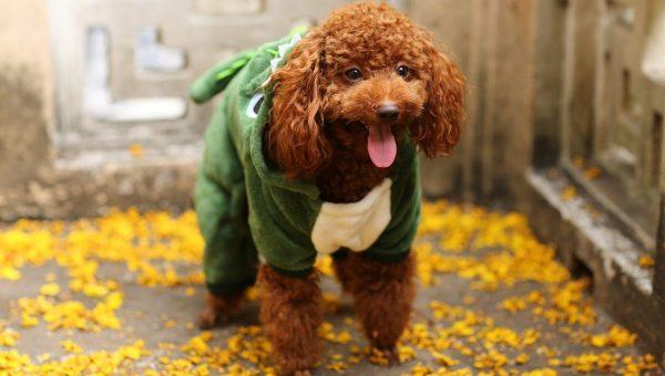 dog in animal hoodie