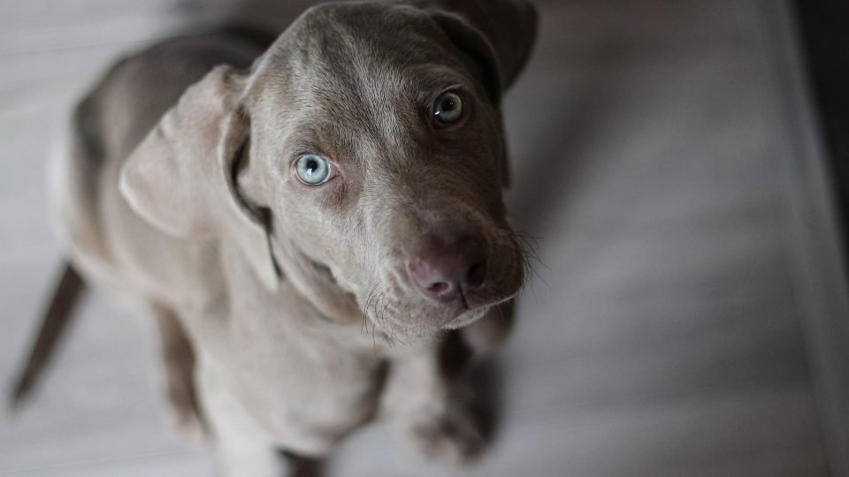 102 Best Gray Dog Names of 2018 | The Dog People by Rover com