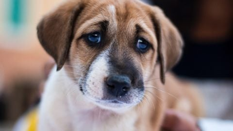 sad puppy gazing at the camera ready to whine at owner