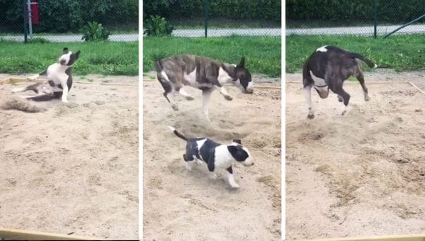 Mini Bull Terrier Is Spinning Her Way to Internet Fame with Epic Zoomies Video
