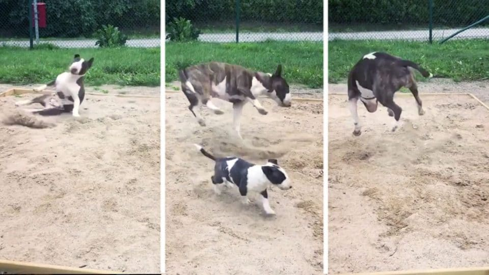 bull terrier epic zoomies hucklebutt HERO