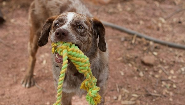 3 Simple Rules for Playing Tug With Your Dog (and the Myth You've Believed Too Long)