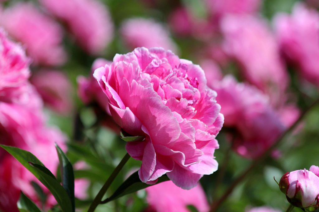 flowers poisonous for dogs in the northeast peony