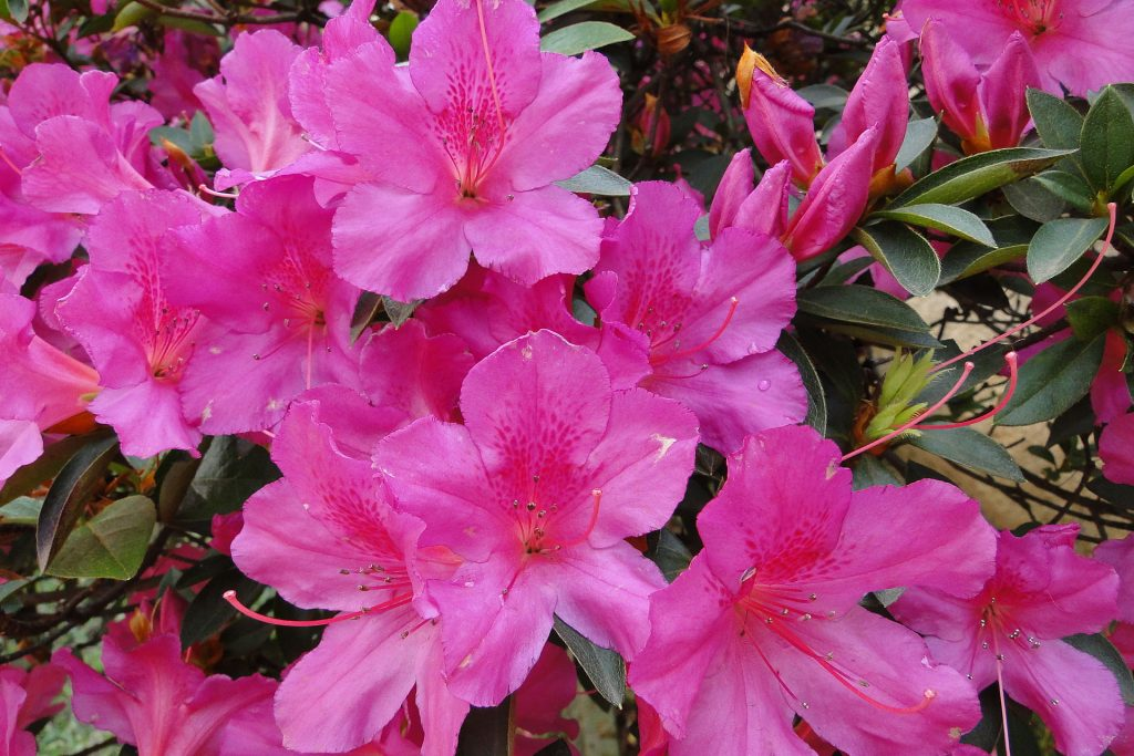 poisonous flowers for dogs in the southeast azalea