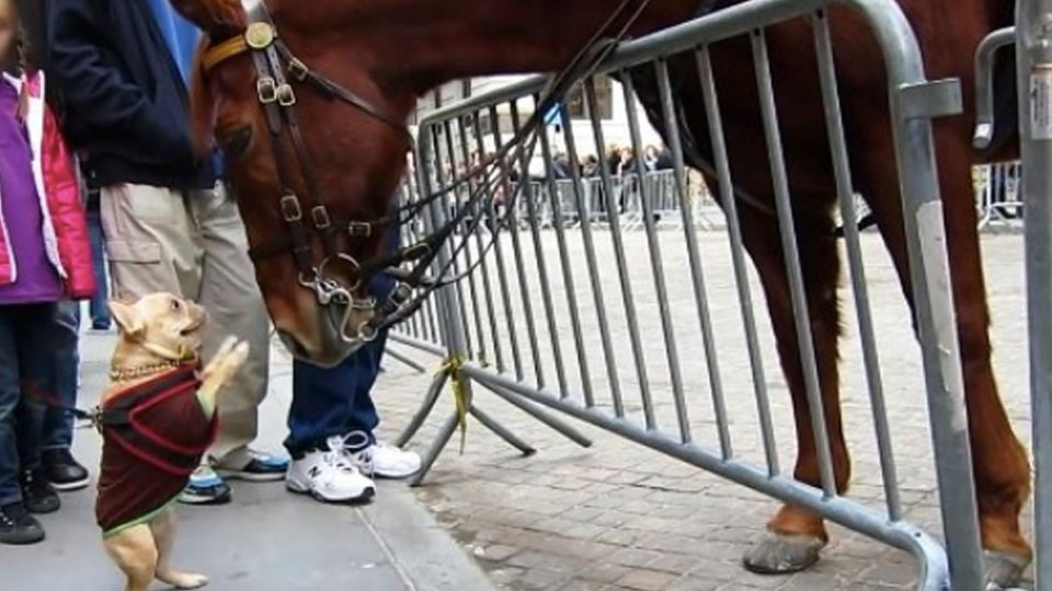 frenchie meets police horse HERO