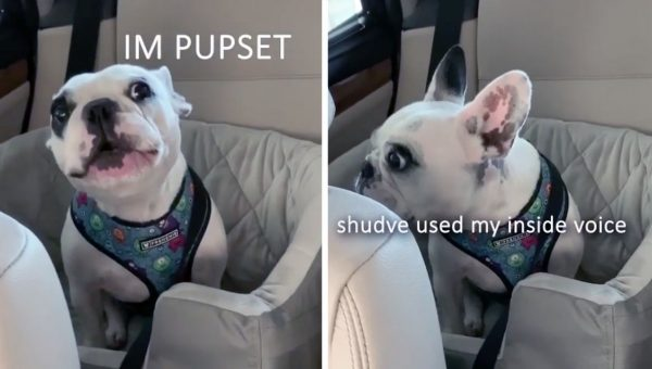Translated Frenchie Tantrum Will Have You in Stitches [Video]