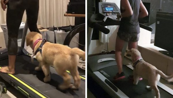 Golden Retriever Puppy on Treadmill is Your  #Fitspiration