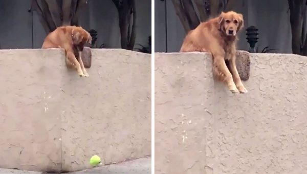 Just Watch this Golden Retriever Find Playmates by Throwing Toy Over the Fence