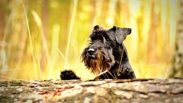 9 Things Only Schnauzer People Understand