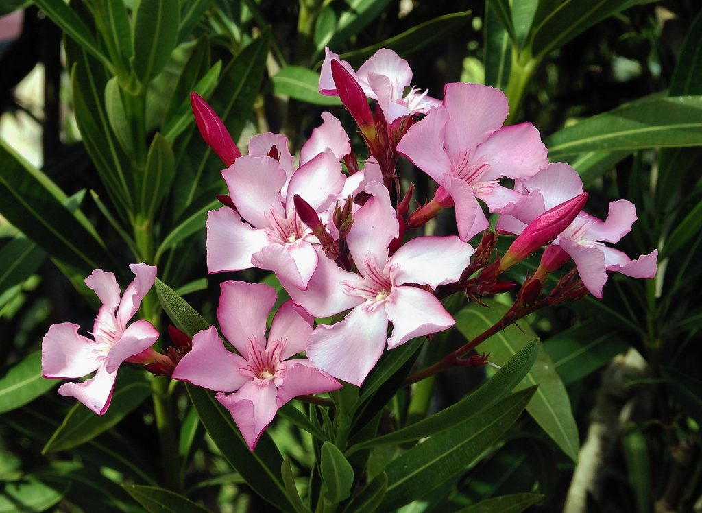 poisonous flowers for dogs in the southwest oleander