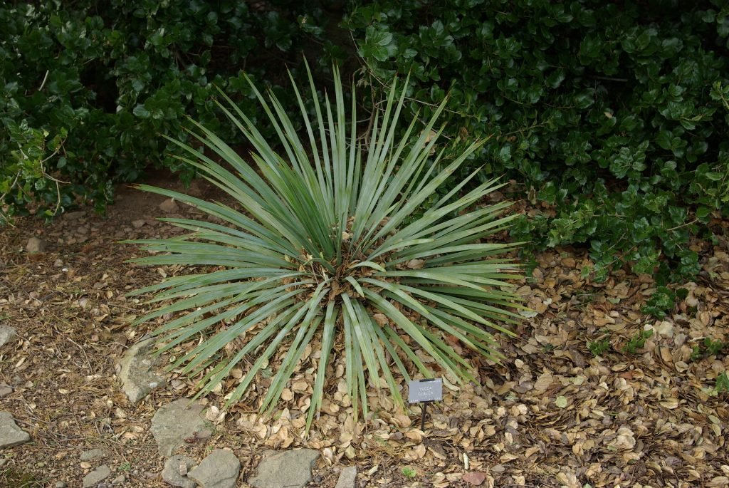 poisonous plants for dogs in the west yucca