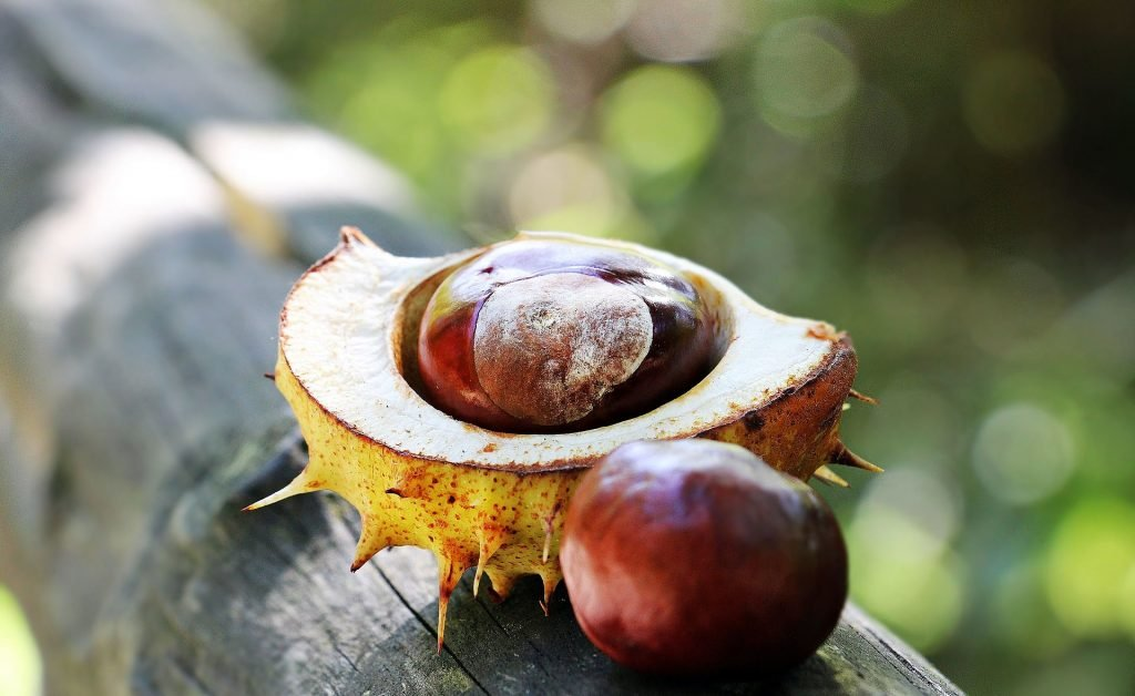 trees poisonous to dogs horse chestnut