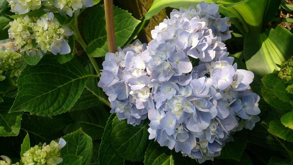 poisonous flowers for dogs in the southeast hydrangea