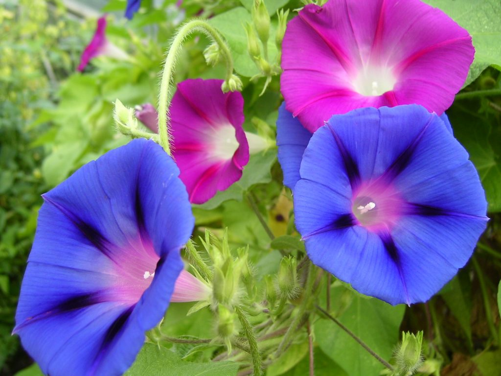 poisonous flowers for dogs in the southwest morning glory