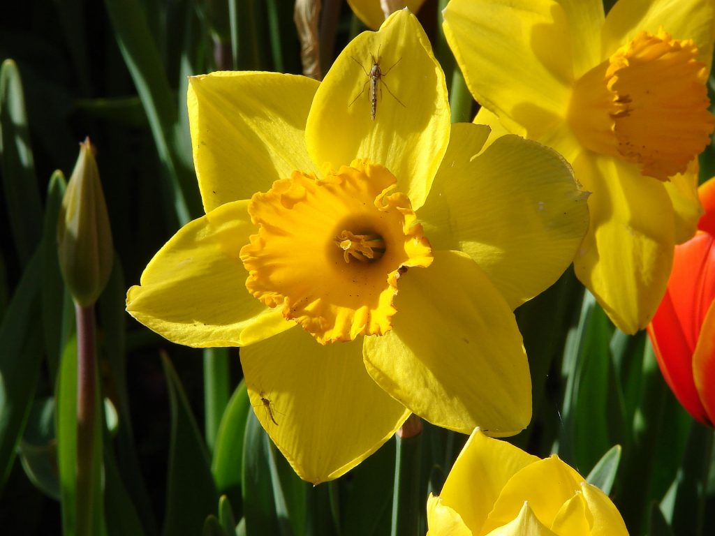 poisonous flowers for dogs in the midwest daffodil