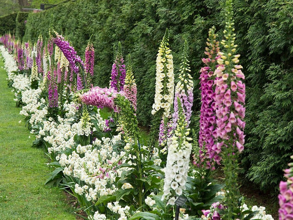 poisonous flowers for dogs in the midwest foxglove