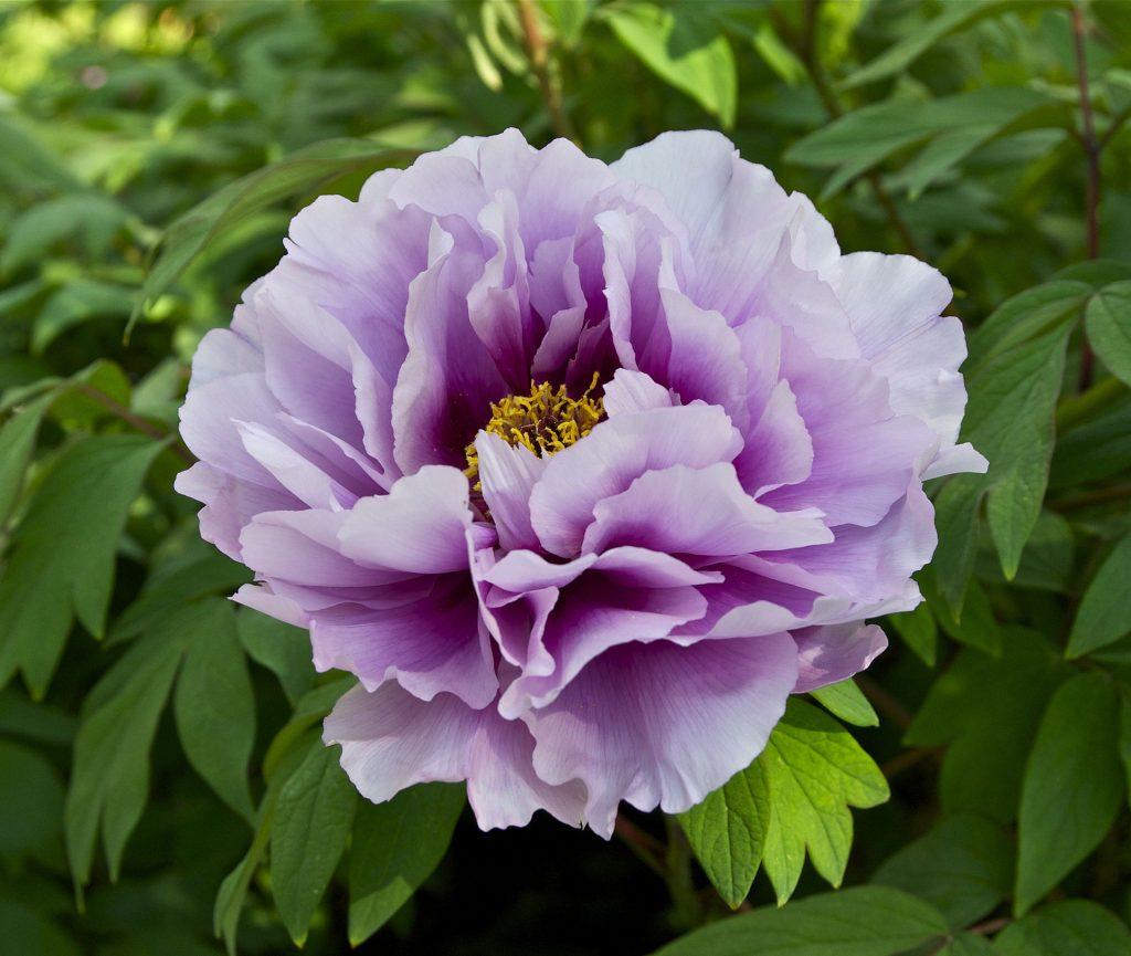 poisonous flowers for dogs in the midwest peony