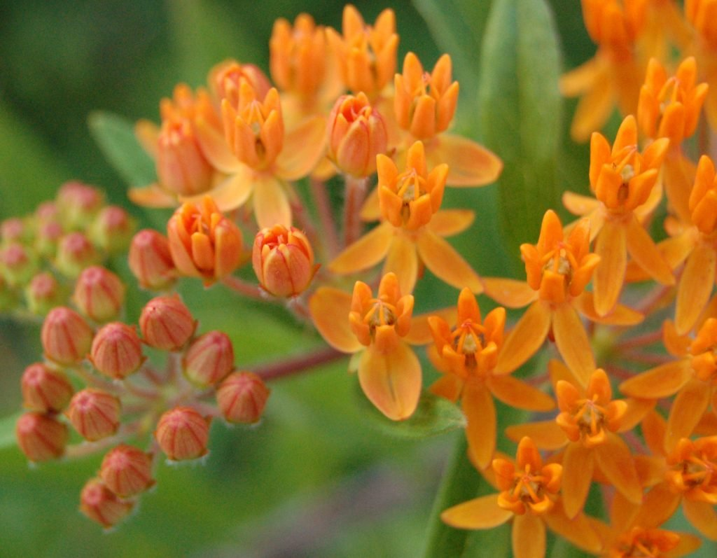 poisonous plants for dogs butterfly milkweed