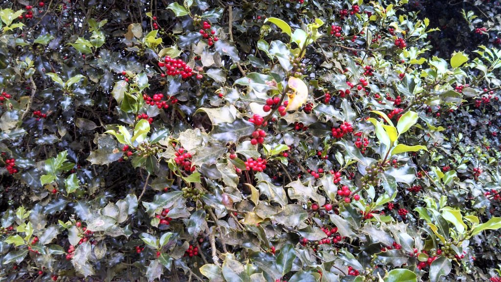 poisonous plants for dogs in the west english holly