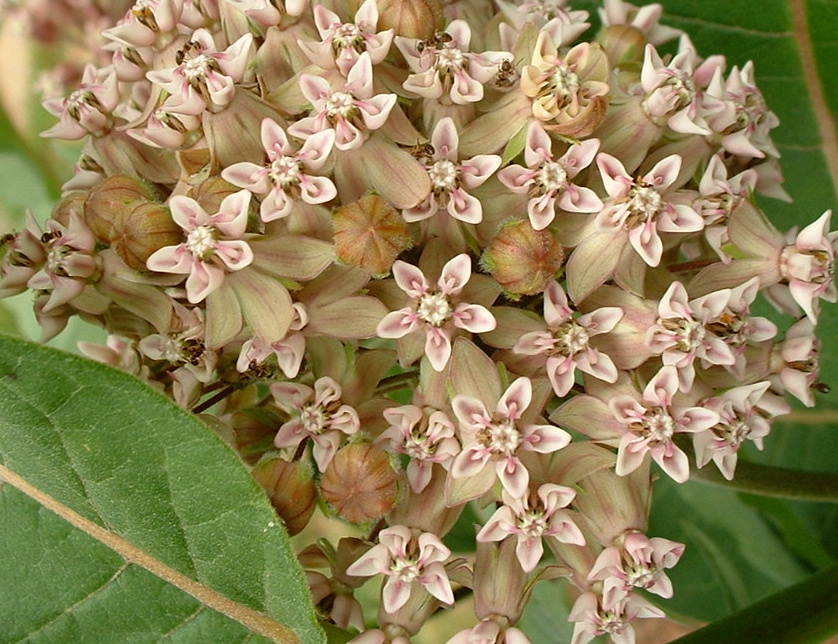 poisonous plants for dogs in the southeast milkweed
